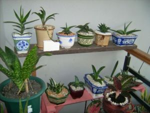arza sansevieria colection