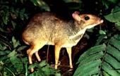 Kancil atau Peucang sulit ditemui di hutan
